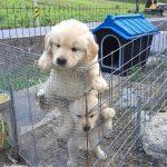 Funny Golden Retriever Puppies – 11 Minute Video