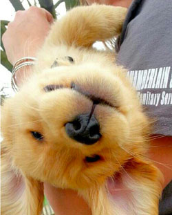 Funny Golden Retriever Puppy
