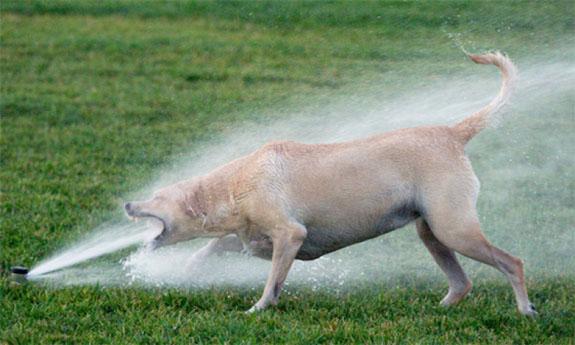 dog-sprinkler