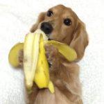 Little Dog Eating A Banana