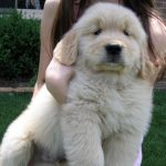 13 GIFs of Golden Retrievers