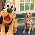 service dog at disney