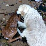 Golden Retriever Saves Fawn From Drowning
